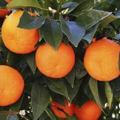 Orange blonde (Merline)
